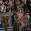 Photos: しだれ桜、増上寺!(100326)