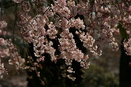 しだれ桜の増上寺!(100326)
