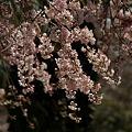Photos: しだれ桜の増上寺!(100326)