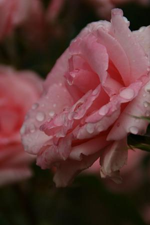 薔薇の雨粒!(100529)