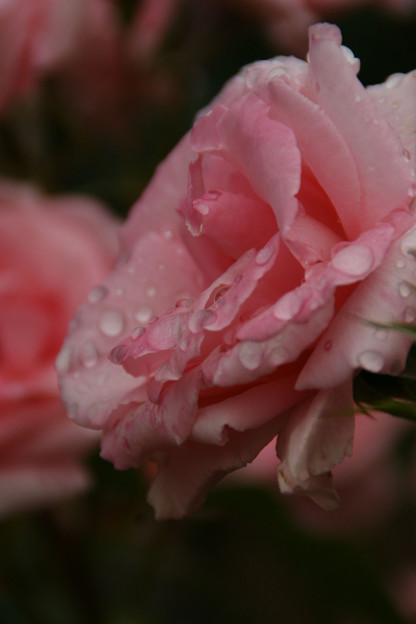Photos: 薔薇の雨粒!(100529)