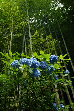 竹林と紫陽花!(100626)