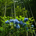 Photos: 竹林と紫陽花!(100626)