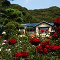 Photos: 秋薔薇の咲く洋館!(101023)