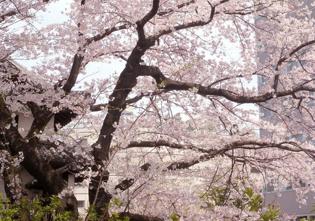 高崎城址・乾櫓脇の桜が見頃-P6-0410-30