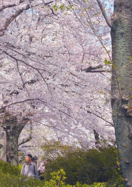 城址の土塁の上は桜の鑑賞路となる-P6-0410-65