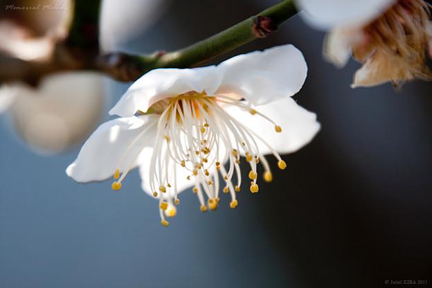 梅の花 芳流閣02_フラワーセンター大船植物園