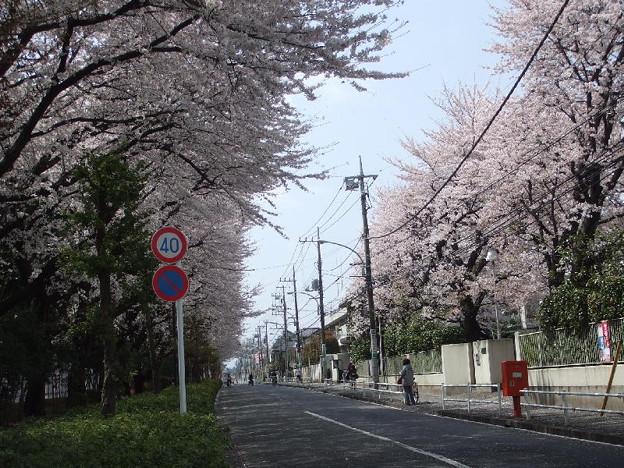 小平団地の桜