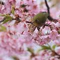 Photos: 110324-3河津桜とメジロ