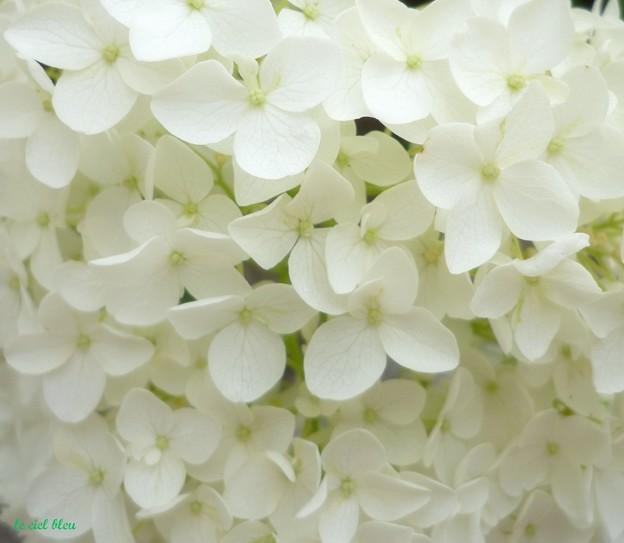 純白の紫陽花