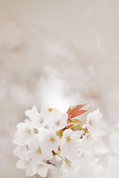 ライダーのいる桜