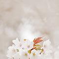 Photos: ライダーのいる桜