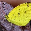 Photos: 葡萄の枯れ葉にしがみつく~黄蝶ベビー~