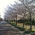 Photos: 桜並木の散歩道