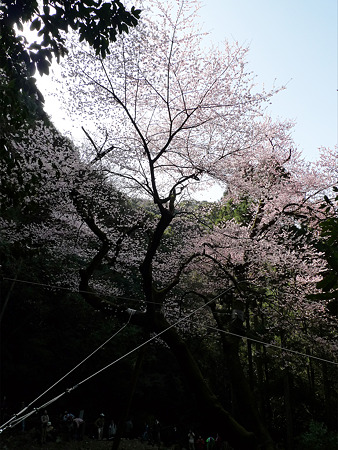 虎尾桜(4)