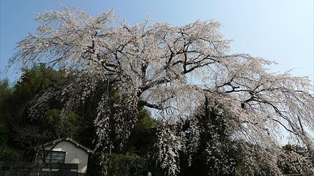 大原大しだれ桜(2)