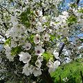 駕与丁公園の桜(4)