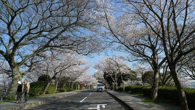 めかり公園の桜(4)