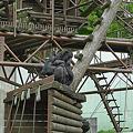 Photos: 福岡市動物園のチンパンジー