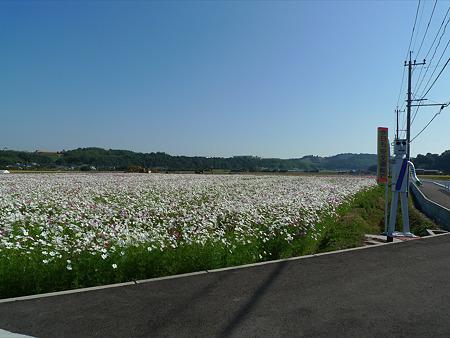 三光コスモス園(21)