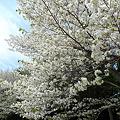 志高湖の桜(12)
