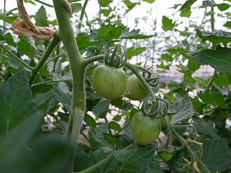 真ん中の列のトマト