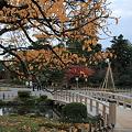 兼六園 旭桜の紅葉?