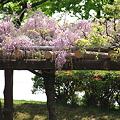 Photos: ピンクの藤 松任グリーンパーク