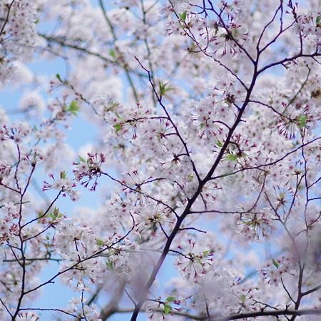 少し散った桜