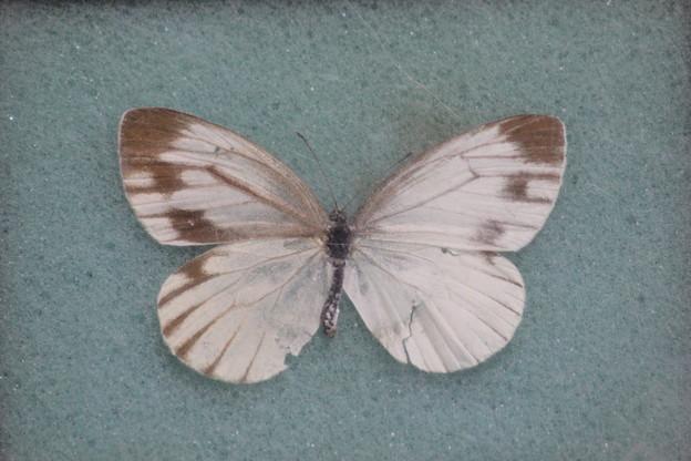 写真: スジグロシロチョウ 雌雄嵌合体