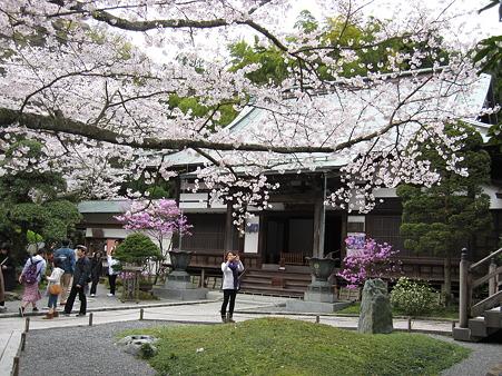 報国寺の桜