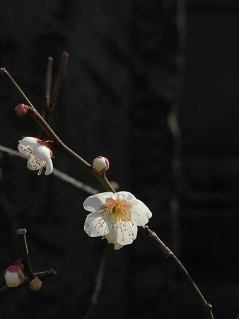 谷中多方院の梅 (13)