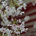 Photos: 大宗寺の桜