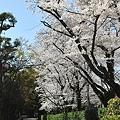 Photos: 母校の桜