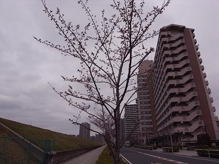 南千住 汐入公園の桜 2010-3-28 01