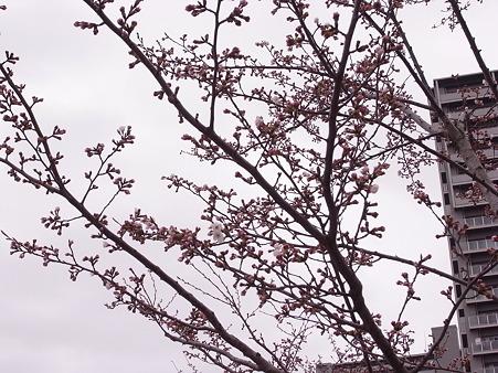 南千住 汐入公園の桜 2010-3-28 07