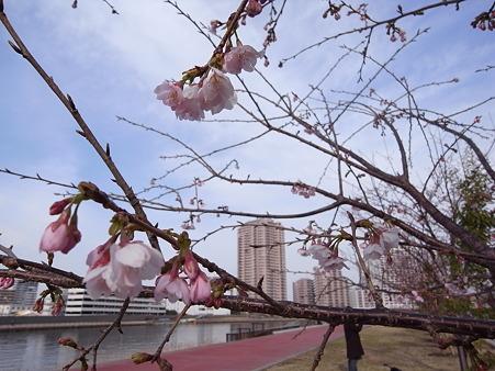 汐入公園の桜 2011-3-6 06