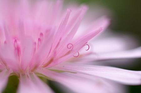 ピンクのくるりん蕊