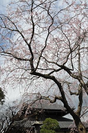 本覚寺のしだれ桜 01