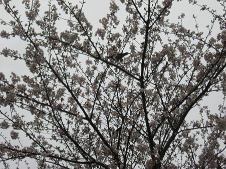 桜だうだう