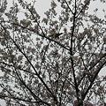 写真: 桜だうだう