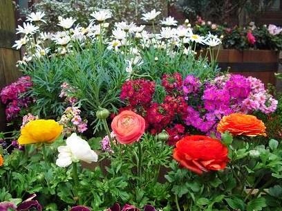 ラナンキュラスの花壇